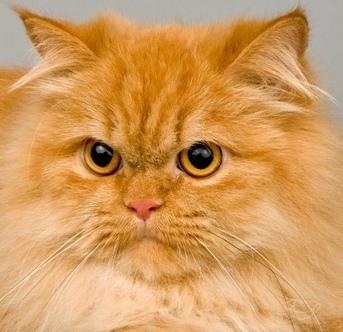 Матильды. чистокровные персидские кошки классического.  Родители.