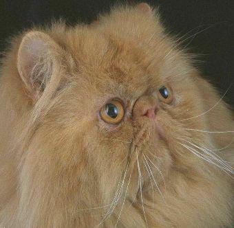 Persian cat with long nose