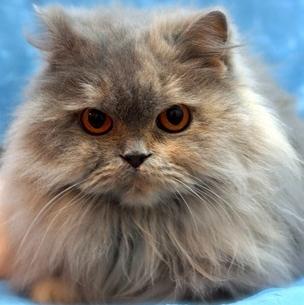 High nose persian cat